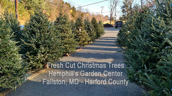 Christmas Trees Live Fresh Cut Bailed Harford County MD