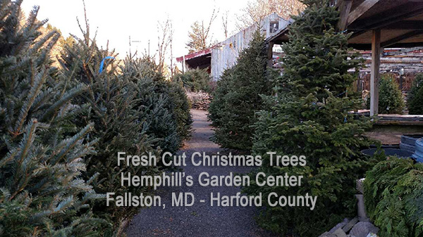 Live Christmas Trees at Hemphills Nursery and Garden Center in
