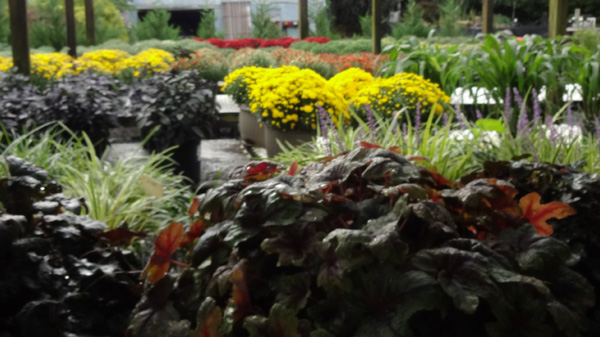 For Sale Plants Trees Shrubs Annuals Perennials Flowers